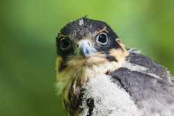 Hobby falcon young portrait with blurred green background. Fluffy juvenile bird of prey just leaved nest. Cute and funny. Bird in wildlife.