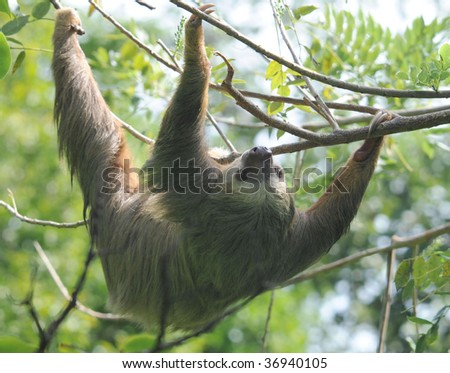 hoffmans two toed sloth upside down in tree, cahuita, costa rica , central america exotic mammal in tropical jungle