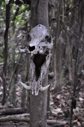 Hog skull with big fangs on a tree