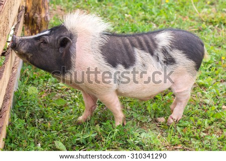 Hog standing at the fence on a farm