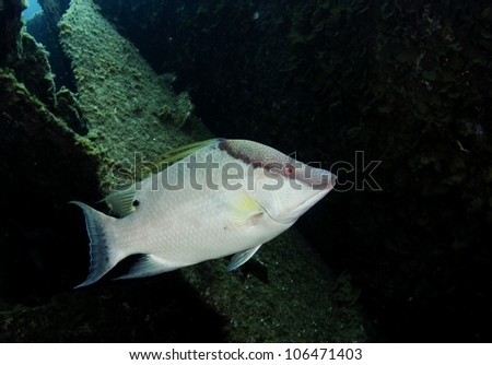 Hogfish underwater with shipwreck in the background