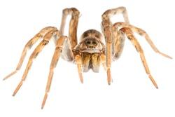 Hogna radiata wolf spider Lycosidae - falsa tarantola - ragno - Italy