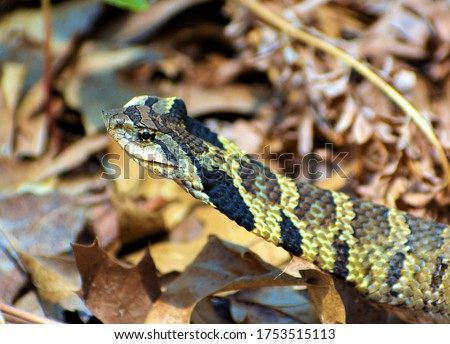 Hognose snake, (genus Heterodon), any of three species of North American nonvenomous snakes belonging to the Colubridae family . They are named for the upturned snout, which is used for digging.