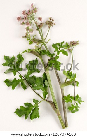 Hogweed botanical board
