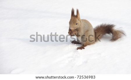 Hokkaido  Squirrel eating a walnut on the snow