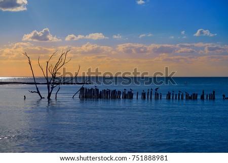 Holbox island beach in Mexico sea birds dried Mangroove tree