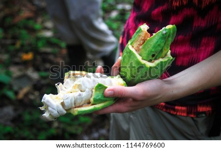 Holding a broken open cacao pod, exposing the white material which can be eaten and seeds which are used to make chocolate. Southern Belize.