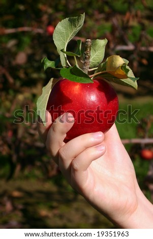 Holding a Freshly Picked, Red Apple in an Orchard