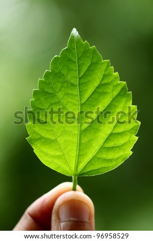 Holding a green leaf of Hibiscus
