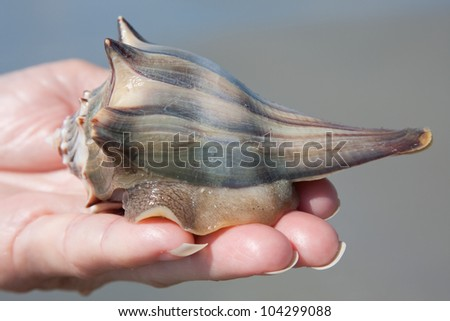 Holding a living knobbed Whelk on the beach - stock photo