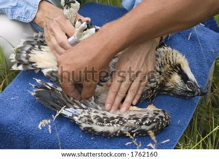 Holding Down Juvenile Osprey (Pandion haliaetus)
