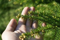 Holding fir branch and looking at its sprouts. Close up view of fresh coniferous tree blossom.