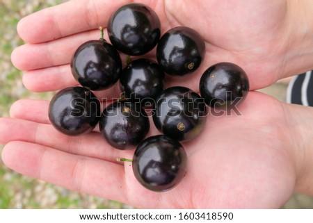 Holding many freshly picked ripe Jaboticabas in the orchard
