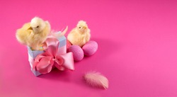 Holiday banner with Bright yellow chickens with easter eggs and gift box on a pink color background. Trendy hard light still life.