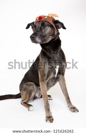 Holiday dog Mix Breed dog muts on white - stock photo