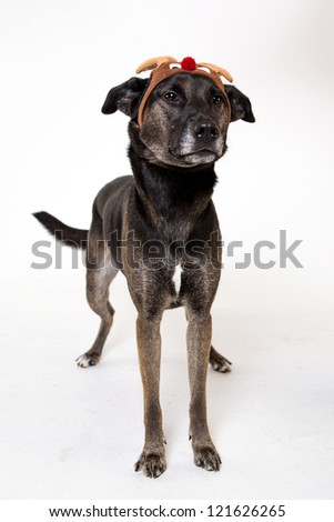 Holiday dog Mix Breed dog muts on white