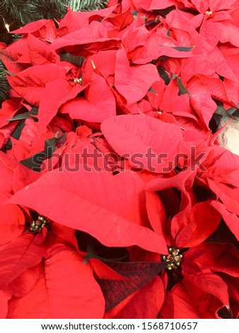 holiday poinsettias in a conservatory