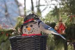 Holiday scene of a Bluejay perched on a black whicker basket with a depth of field and bokeh of a snowman in the background, surrounded by evergreens and red berries.
