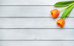 Holiday spring background. Orange tulip flowers on white wooden backdrop.  Greeting card with copy space for Valentine's Day, Woman's Day and Mother's Day. Top view.