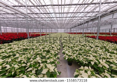 Holiday white poinsettia in greenhouse. Christmas poinsettias in a row.
