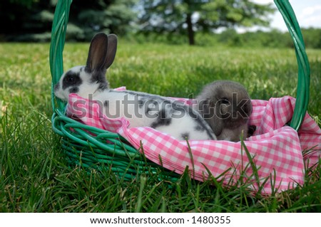 mini holland lop