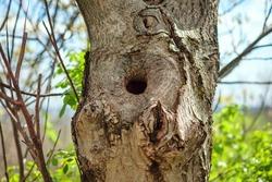 Hollow in a tree . Bird Nest inside on a tree