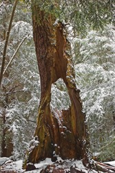 Hollow tree trunk among snow-covered Eastern Hemlock trees in Swallow Falls State Park, Maryland