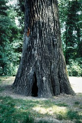 Hollow tree trunk with hole to enter inside. Large opening at the base of a trunk. Darkness inside a tree and mysteries of the forest. Old tree with large hollow cavern inside, potential animal den.