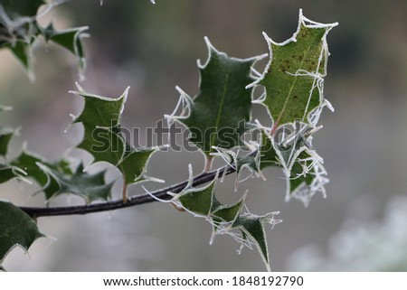 holly and cobwebs in the frost at dawn in the countryside Сток-фото ©