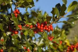 Holly Berries - Ilex aquifoliumBerries & leaves with blue sky