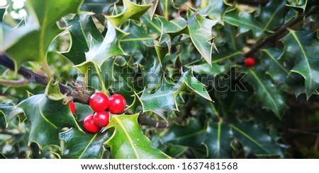Holly Berries nestled amongst holly leaves