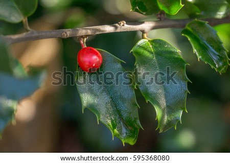 holly berry and holly leaves on a holly tree #595368080