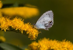 Holly blue, a small butterfly, on the yellow flower head of Goldenrod
