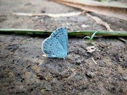 Holly blue. Buckthorn - a beautiful blue butterfly sits on a forest floor