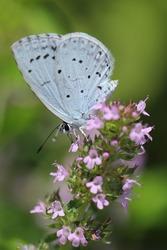 Holly Blue butterfly (Celastrina argiolus)