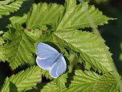 Holly Blue Butterfly - Celastrina argiolusMale