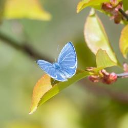Holly blue butterfly (Celastrina argiolus) male on a leaf