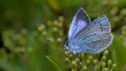 Holly Blue butterfly laying eggs on pyracantha
