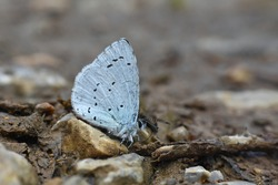 Holly blue butterfly on a ground. Little blue butterfly celastrina argiolus