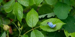 Holly blue butterfly perched on leaf in a suburban garden in the UK.
