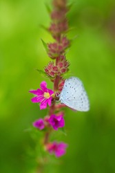 Holly Blue Butterfly sitting on a flower