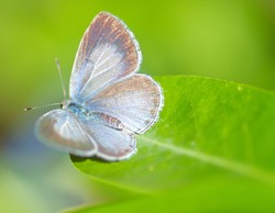 Holly Blue Butterfly sitting on a green leaf