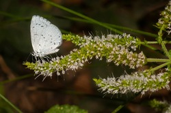Holly blue (Celastrina argiolus). A bluish-white butterfly with white dots on its wings, on an aromatic plant on the bank of a river in the mountains.