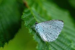 Holly Blue - Celastrina argiolus, beatiful small blue butterfly from European meadows and grasslands, Zlin, Czech Republic.