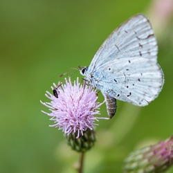 Holly blue on Ambrosia