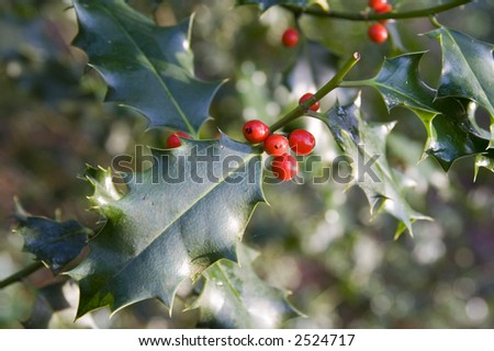Holly bush and ripe red berries. Nice christmas design background.