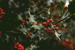 Holly Bush Tree