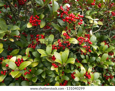 Holly bush with red berries #131040299