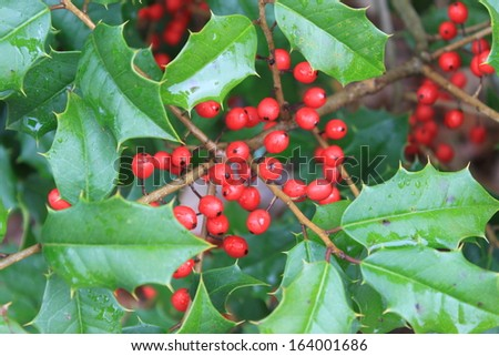 Holly Bush Tree Holly Bush With Red Berries on