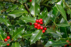 Holly foliage with matures red berries. Ilex aquifolium or Christmas holly.